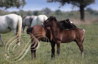 CAMARGUAIS - grooming - poulains