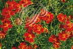 TAGETES rouges