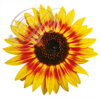 TOURNESOL bicolor (Helianthus annuus)