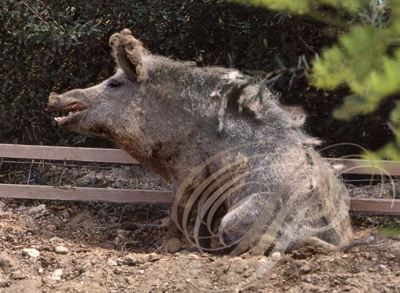 Cochons Laineux cochon laineux ou porc mangalitza (verrat) - hongrie | photothèque