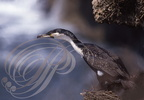 GRAND CORMORAN MAROCAIN (Phalacrocorax carbo maroccanus)