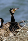 GRAND CORMORAN (Phalacrocorax carbo carbo)