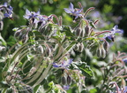 BOURRACHE (Borrago officinalis) - fleurs